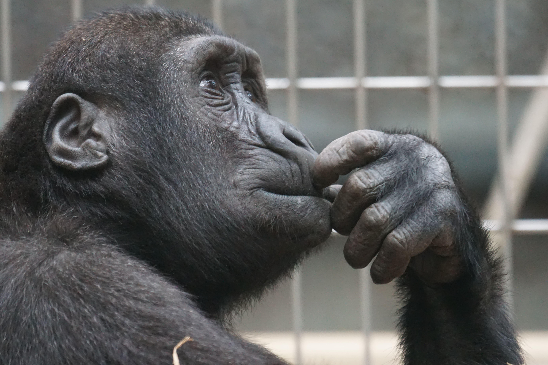 gorilla-domanda-incertezza